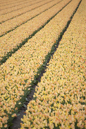 dutch: Rows of yellow tulips in Dutch countryside Stock Photo