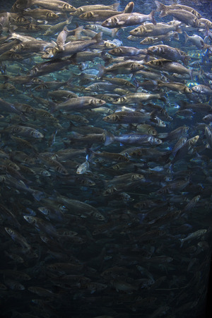 shoal: Fish school shoal in blue ocean underwater (Barracudas) Stock Photo