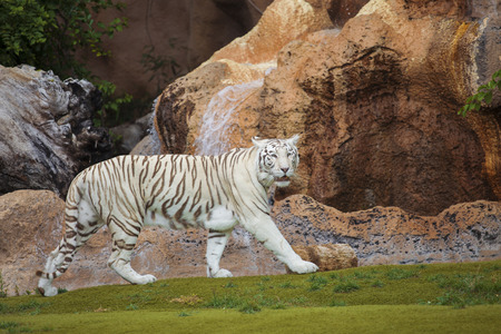 looking into: White tiger cautiously looking into the far
