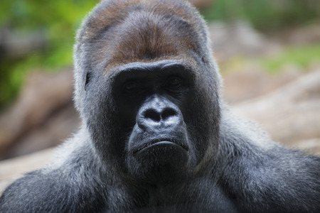 manlike: Portrait of big, black gorilla (male) at the zoo on brown-green background, outdoor (Loro Park -Tenerife, Canary islands, Spain). Stock Photo