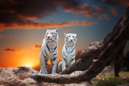 big cat: two white tiger sitting on a rock and watching the sunset