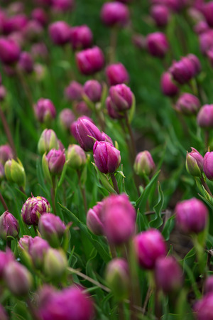 skagit: purple tulip fields are growing every year in the Netherlands Stock Photo