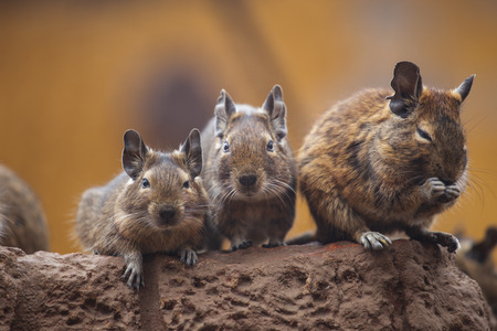 rodent degu walk with his fellow Stok Fotoğraf