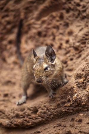 fellow: rodent degu walk with his fellow Stock Photo