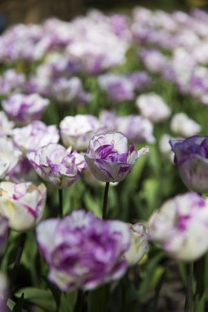 Purple tulips in Skagit Valley Stock Photo