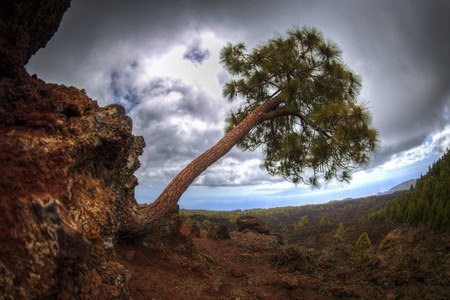 Canary pine tree on the slope of the volcano Teide on Tenerife. Spain.