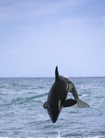 grampus: killer whale (Orcinus orca) jumping out of the water