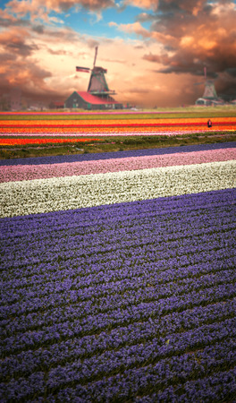 holland windmill: Windmill with tulip field in Holland Stock Photo