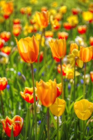 Rows of yellow tulips in Dutch countryside Stock Photo