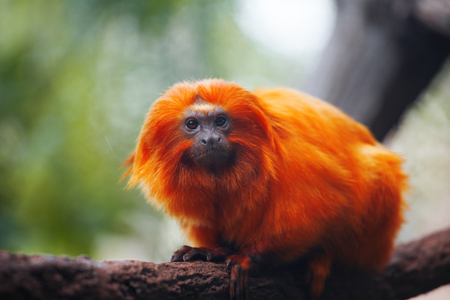 Lion tamarin, or Rosalie. He sits on a tree branch Stock Photo