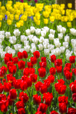 bulb fields: yellow-red field of tulips growing in the spring Stock Photo