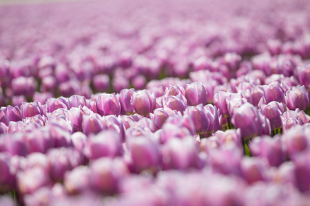 purple tulip fields are growing every year in the Netherlands Stock Photo