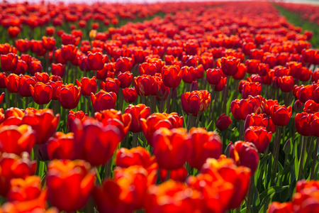 bulb fields: field with red tulips in the netherlands