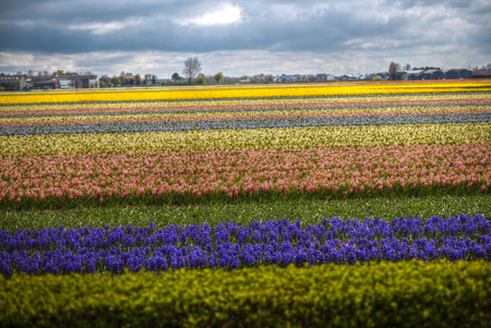 hyacinths: Fields of hyacinths of different colors grow in the Netherlands in the spring