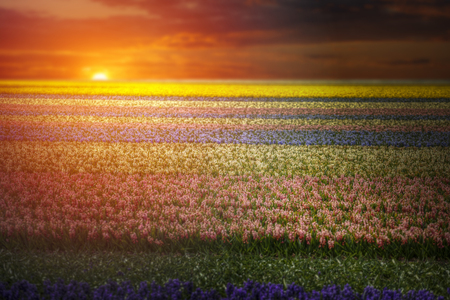 Field of hyacinths in the Netherlands, near Amsterdam