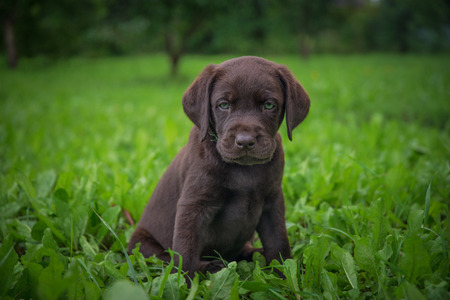 brown labrador puppy is walking on the street Stock Photo