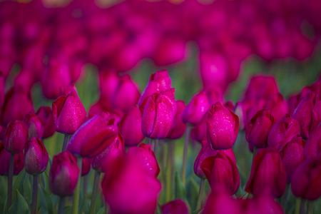 pink, red and orange tulip field in North Holland during spring Stockfoto