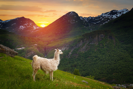 llamas in the mountains. scenic spots in nature.