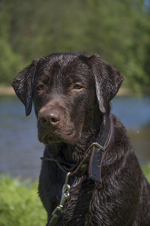 chocolate labrador wet on nature near the river and forest