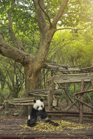 Panda sits in the forest and eats bamboo Imagens