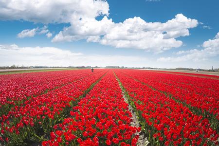 champ avec des tulipes rouges aux pays-bas.