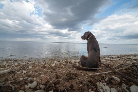 Labrador looks at the sea and waves