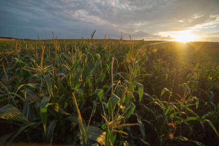 corn field at sunset in late summer. Harvest time