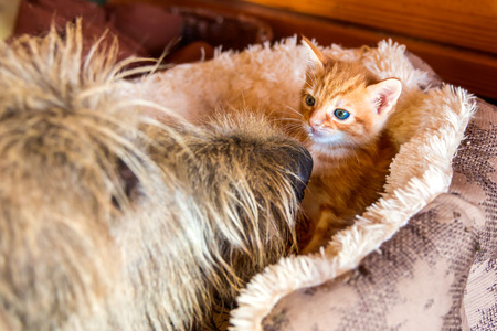 a small tiny orange kitten in a bed with blue eyes Archivio Fotografico