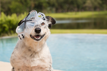 Border collie  Australian shepherd mix dog in pool wearing goggles smiling Banco de Imagens