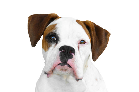 facing the camera: Isolated white boxer with black eye patch and brown ears facing camera with white background