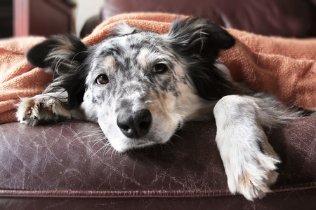 Border collie  Australian shepherd dog on couch under blanket looking sad Stock Photo