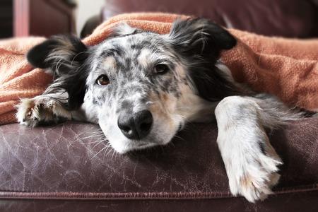 Border collie / Australian shepherd dog on couch under blanket looking sad