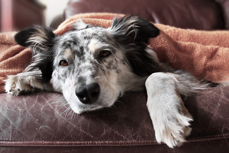 white sofa: Border collie  australian shepherd dog on couch under blanket looking sad bored lonely sick depressed Stock Photo