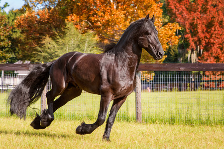 dapper: Brown black frisian  friesian horse galloping cantering running slowly swiftly in a field meadow paddock pasture in autumn fall looking graceful elegant dapper dashing with long mane and tail
