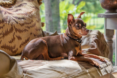 pincher: Miniature Pincher lounging laying down relaxing in luxury on a comfortable chair