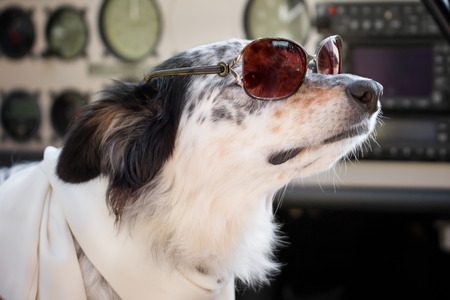 Border collie Australian shepherd mix dog sitting down with sunglasses in ariplane cockpit wearing white scarf looking smart cute cool chic ready for travel