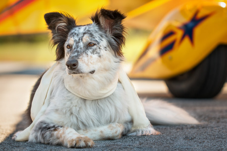 Border collie Australian shepherd mix dog lying down in front of yellow airplane on runway with scarf looking alert listening watching waiting patient worried interested focused ready