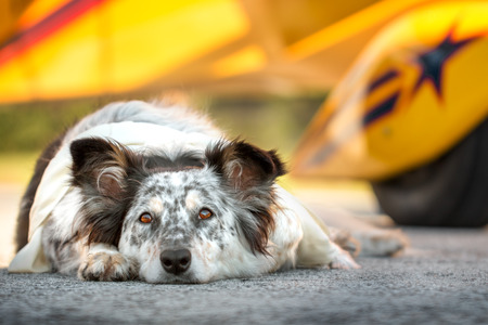 bright eyed: Border collie australian shepherd mix dog lying down on runway in front of airplane with ears half alert wearing white scarf looking alert curious adventurous watching waiting listening expectant hopeful bright eyed excited