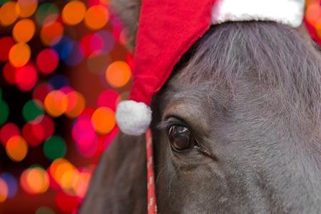 Makro Nahaufnahme von einem schwarzen Pferd Kopf mit Weihnachtsmütze und roten Halfter isoliert auf schwarzem Hintergrund auf Weihnachtsferien Wintersaison zu feiern