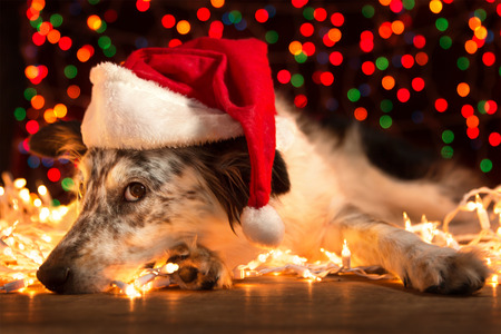 dog christmas: Border collie Australian shepherd mix dog lying down on white chirstmas lights with colorful bokeh sparkling lights in background looking hopeful wishful believing celebratory concerned doubtful guilty