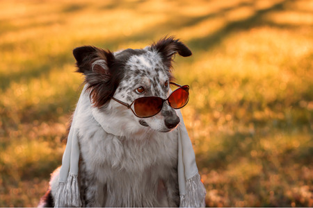 Border collie australian shepherd mix dog wearing sunglasses on tip of nose and scarf at sunset sunrise looking cool adorable doubtful fashionable stylish calm chic