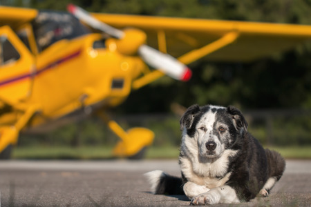 Border Collie mix breed dog lying down on runway in front of yellow plane with propller and wing looking relaxed wise knowing calm dismissive tired worn out courageous