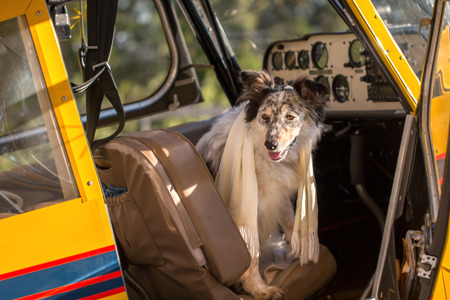 Border collie Australian shepherd mix dog sitting down in pilot seat in plane cockpit wearing white scarf looking adventurous courageous expectant alert ready to travel fly vacation holiday