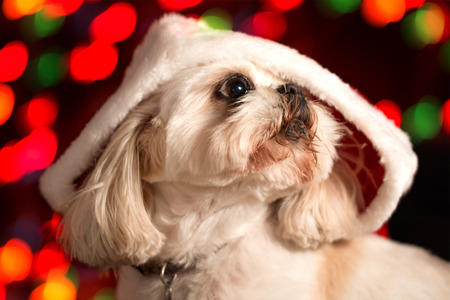 White Shih Tzu dog wearing red santa hat with Christmas holiday lights bokeh in background looking adorable cute alety ready waiting curious expectant hopeful worried photo