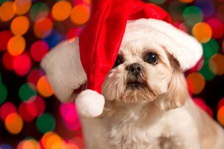 Shitzu dog wearing red santa hat with Christmas holiday lights bokeh in background looking adorable cute alery ready waiting curious Stockfoto