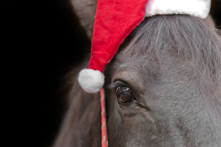 Macro closeup of a black horse head wearing santa hat and red halter isolated on black background to celebrate Christmas holiday winter season