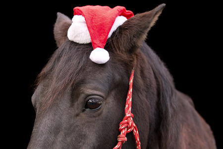 Macro closeup of a black horse head wearing red santa hat and red halter isolated on black background to celebrate Christmas holiday winter season greeting photo