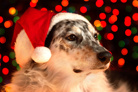Border collie Australian shepherd mix dog closeup wearing santa hat with bokeh Christmas lights in background looking regal wise statuesque watching waiting patient photo