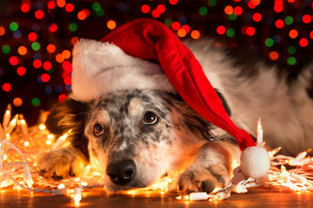 Border collie Australian shepherd mix dog lying down on white Christmas lights with colorful bokeh sparkling lights in background looking hopeful wishful believing celebratory concerned Stockfoto