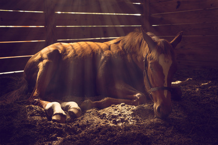 moving down: Young weanling horse lying down in stall with sunbeams shining looking tired exhausted sleepy sad sick depressed alone relaxed